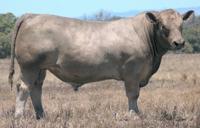 murray grey bull in paddock